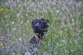 Dog Labrador green grass