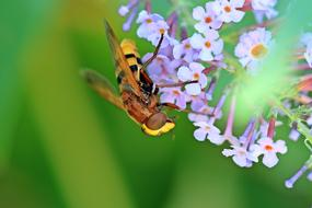 flower fly on summer lilac, macro