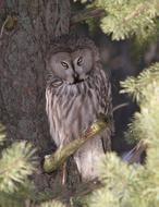 Great Grey Owl Bird