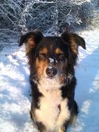 goodly Dog Snow Australian