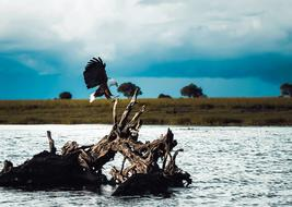 bald eagle sits on a stump in the river