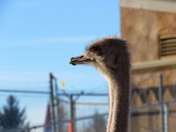 photo of the fluffy head of a young ostrich