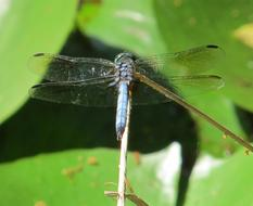 perfect Dragonfly Blue-Eyed