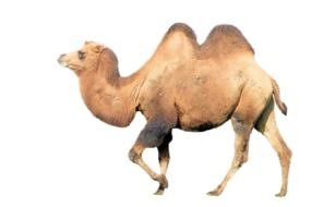 camel mammal animal drawing