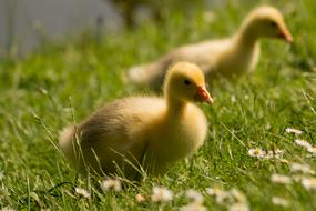 two fluffy chicks on a green meadow