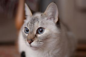goodly Domestic Cat grey