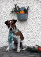 Small Dog in scarf sits at decorated wall, Jack Russel Terrier