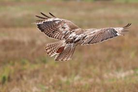 red-tailed hawk flies over the field