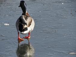 perfect Duck Ice