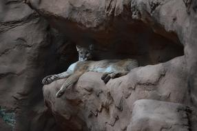 dangerous cougar lies on a cliff
