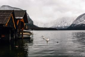Photo of houses on the shore and flocks of white geese in a lake in Hallstatt, Austria