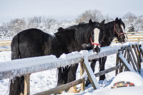 goodly Horses Winter Snow