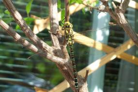 green dragonfly on a southern tree