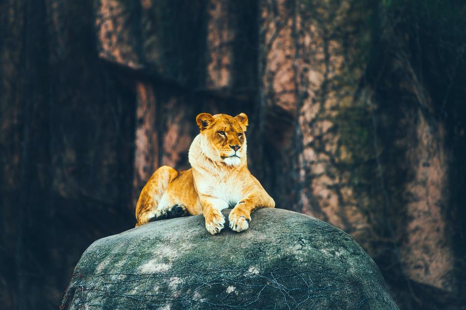 goodly Lion Female Rock