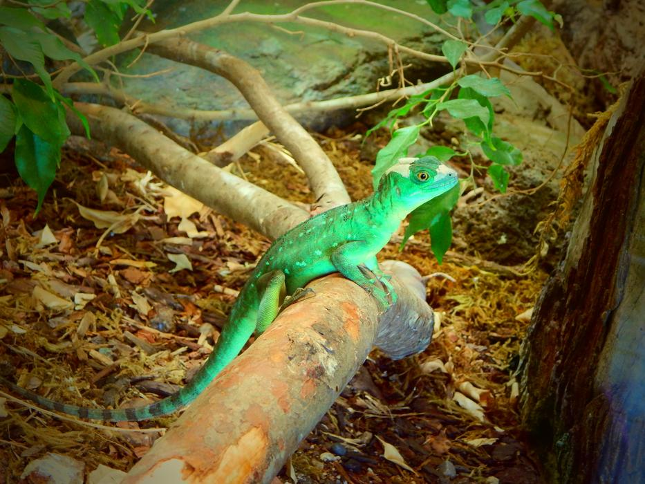 Exotic lizard Green