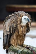Griffon Vulture Bird snow background