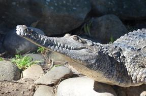 goodly Crocodile Freshwater