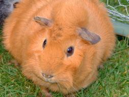 amazingly beautiful Guinea Pig