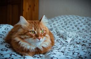 goodly Red-Headed cat