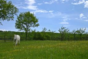 white horse is running in green spring pasture