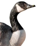 photo of canadian goose on a white background