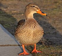 a brown duck walks along a paved pathr