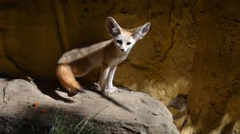 goodly Fennec Fox Zoo