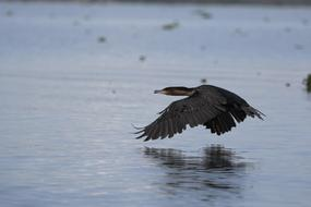 black bird flies over a pond in Kenya