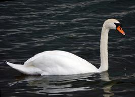 photo of a white graceful swan floating in a dark pond