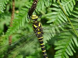 impressively beautiful Golden-Ringed Dragonfly