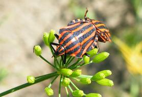 goodly Bugs Stripes Insect