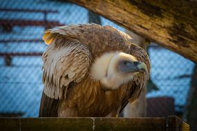 goodly Griffon Vulture Bird