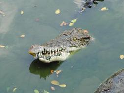 crocodile head sticks out of a green pond