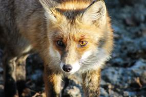 Fox Animal Nature