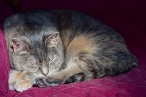 domestic gray cat sleeps on a purple chair