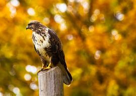 impressively beautiful Hawk Bird