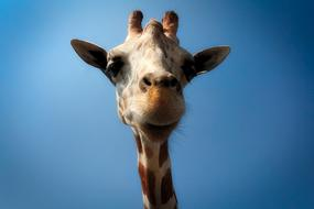 macro photo of the head of a giraffe cub