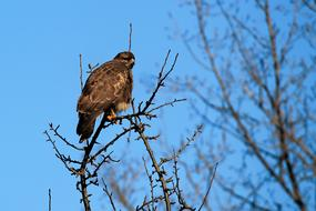 Buzzard Hawk Bird