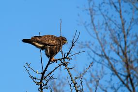 buzzard sits on the top branch of a tree
