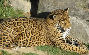 Jaguar Big Cat relax