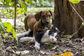 dachshund plays with a cat in the garden