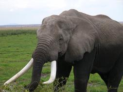 photo of an elephant with white tusks in Amboseli National Park, Kenya