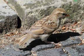 fabulous Sparrow Young Sperling