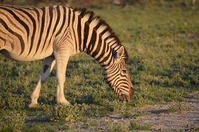 zebra grazes in a national park in Africa