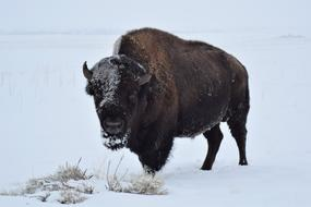 bison in the snow in winter