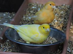 two canaries sit in a feeding trough