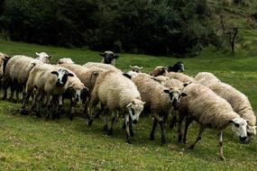 perfect Sheeps Flock