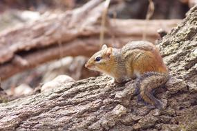 goodly Chipmunk Animal