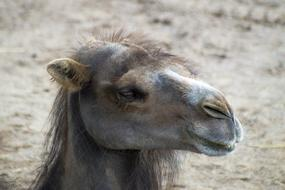 goodly Camel face