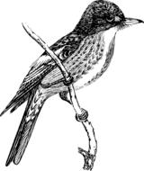 bird flycatcher drawing
